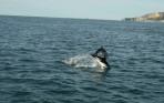Dusky Dolfijnen