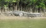 Krokodil!